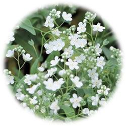 ブライダルベールの花PC画像